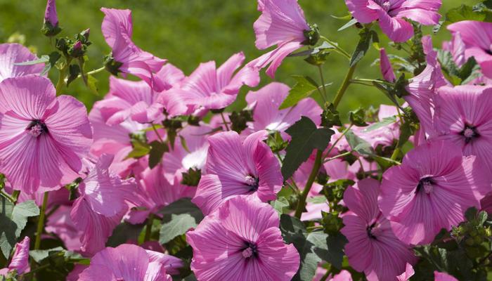 Прекрасная лаватера: разнообразие и выращивание в саду