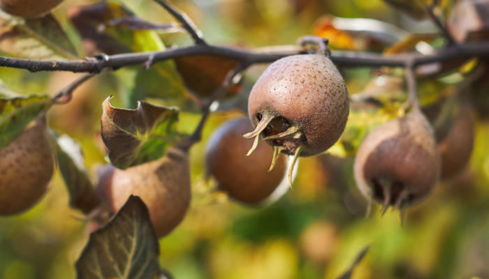 Мушмула – красивая гостья в российских садах