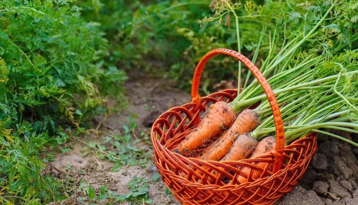Выбираем сорта моркови по урожайности