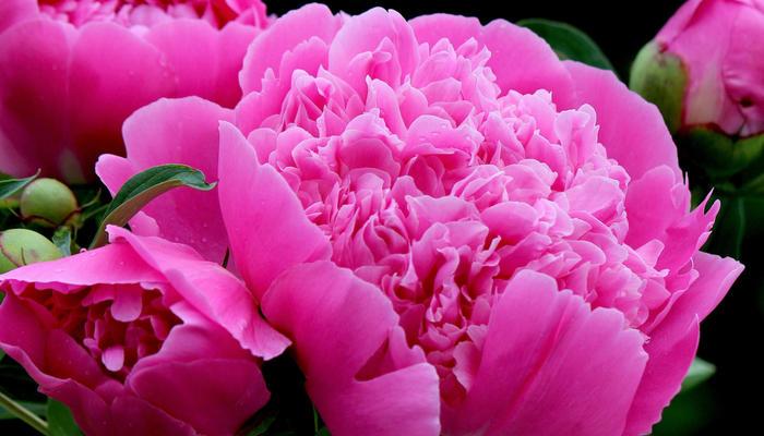 Настоящее украшение сада - пионы! Размножение, посадка, уход