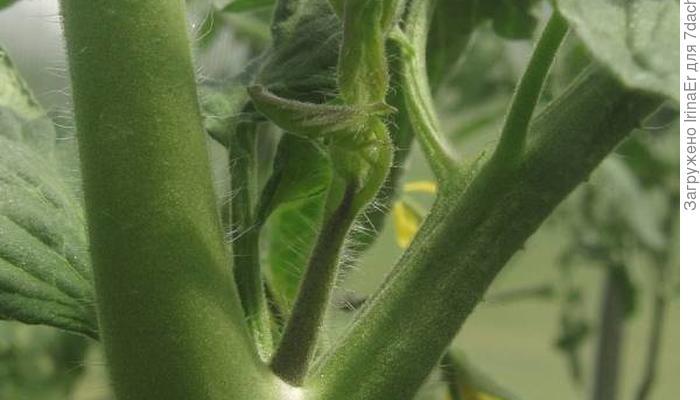 Формирование томатов в два и три стебля