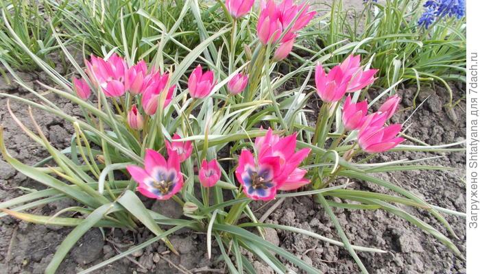 """Тюльпан ботанический """"Маленькая принцесса"""""""