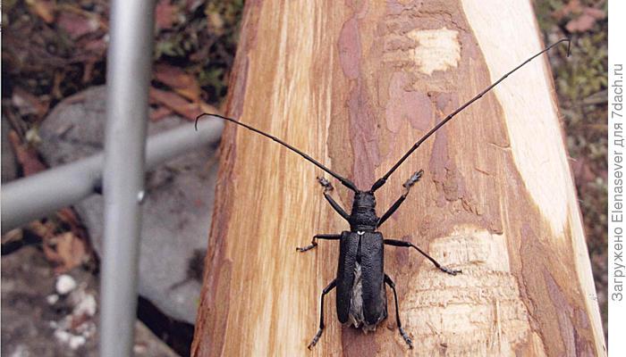 Как не пустить в баню жука-усача?