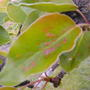 Чем вылечить болезнь зимнего сорта груши?