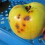 Черные точки на яблоках. Что это за болезнь?