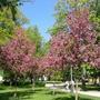 Подскажите, что это за дерево так красиво цветет?