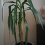 Подскажите, как называется это растение? Чем оно болеет и как его вылечить?