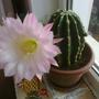 мой любимец-кактус
