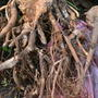 Что с корнем пиона и как его лечить?