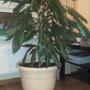 После пересадки драцена начала вянуть. Помогите спасти растение