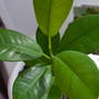 Что за растение? Похоже на фикус, но листья более гибкие и потолще