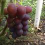 Как укрывать виноград в Ленинградской области без парника? Зимы то теплые, то холодные