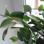 Что это за цветок? Из середины листка что-то растёт