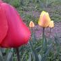 Какой сорт этих тюльпанов и здоровы ли они?