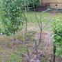 На яблоне перестали раскрываться листочки, в чем причина?