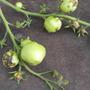 Что это за болезнь у помидоров?