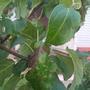 Подскажите, чем болеют груши и яблоня?
