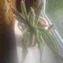 Подскажите вид кактуса