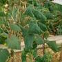 Почему темнеют и деформируются листья огурцов?