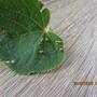 На листьях липы появились образования, что это такое?