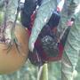 Помогите определить вредителя томатов. Как с ним бороться?