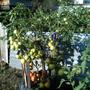 Урожайный куст