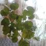 Почему у меня не цветет герань, а вся пошла в листья?