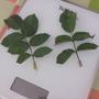 Сколько листьев должно быть на листовой ветке розы?