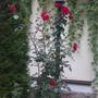 Почему розы выросли больше двух метров?