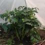 А это Малиновое сердце.  Кустики невысокие, густо облиственные, и помидорки прячутся среди листьев. Сначала я их даже не заметила, пока кусты, которые я поленилась подвязать, не начали падать под тяжестью плодов.