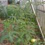 Малиновый зайка.  Урожай меньше, чем у богатыря, но тоже не болели все лето. Это меня очень порадовало, так как ухаживать времени после работы не оставалось.