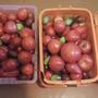 А это уже октябрь. Первый год у меня помидоры в таком хорошем состоянии и совсем не гниют. Но надо сказать спасибо природе: сентябрь стоял замечательный, почти лето.