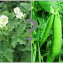 Можно ли среди посадок картофеля посеять горох?