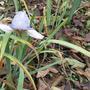 Ирисы цветут… в ноябре!