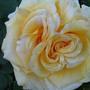 Причуды природы - необычная роза