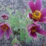 Цветы для весенней клумбы – прострел