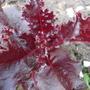 Декоративный огород – салат «Революция»