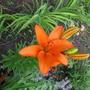 Неизвестная лилия под псевдонимом Луксор