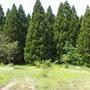 Секвойядендрон гигантский – «мамонтово дерево», исполин растительного мира