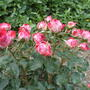 Миниатюрные розы: успехи выращивания, лучшие сорта