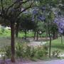 Синее дерево - как оно называется?