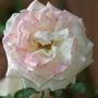 Бордоская жидкость на страже моих роз