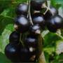 Колонновидные сорта черной смородины