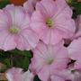 Яблоневый цвет петуний