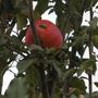 Ошибки весной при цветении яблонь