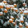 Снежные бархатцы или цветная капуста в кляре