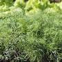 Как сохранить зелень подольше