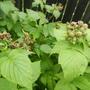 Почему не образовались завязи на черноплодной малине, и что делать с кустом, на котором одни пустоцветы?