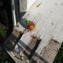 Среди здоровых кустов помидоров встречаются вот такие. Не пойму, что это с ними?
