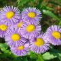 Мелколепестник - неприхотливый цветок для любого уголка сада